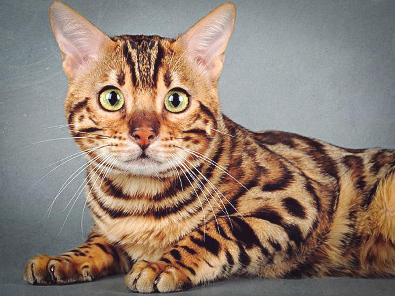 Леопардовый кот - бенгальская кошка