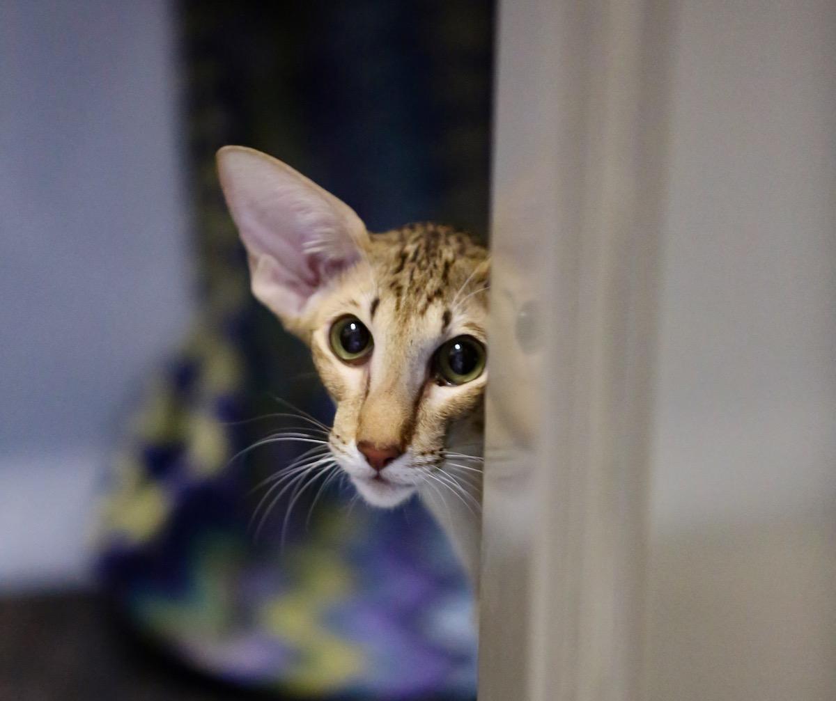 Ориентальная пятнистая кошка