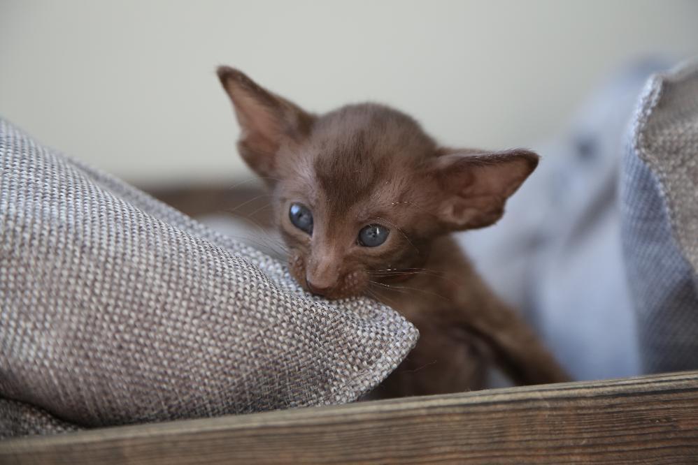 Шоколадная ориентальная кошка