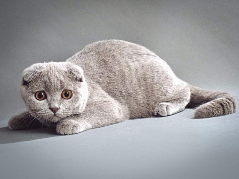 Описание породы шотландской кошки