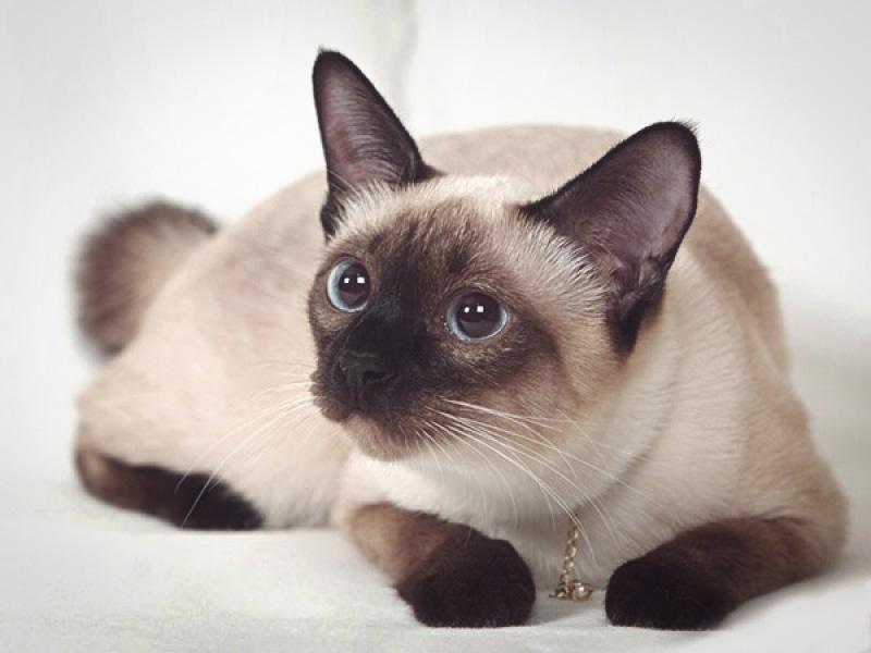 Дерзкий взгляд сиамской кошки