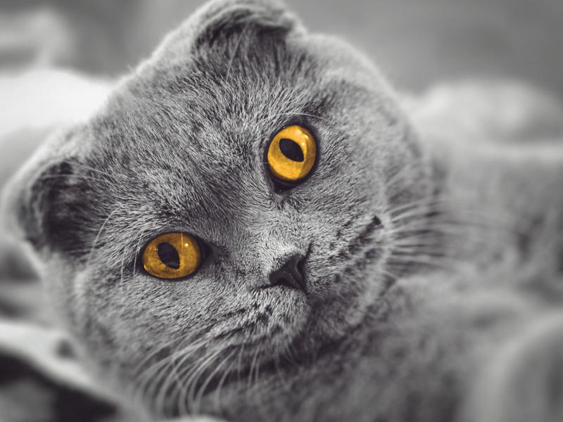 Вислоухий короткошерстный британский кот
