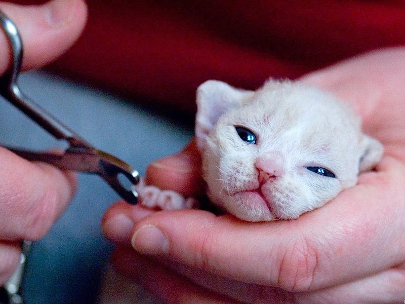 Подстригаем когти маленькому котенку