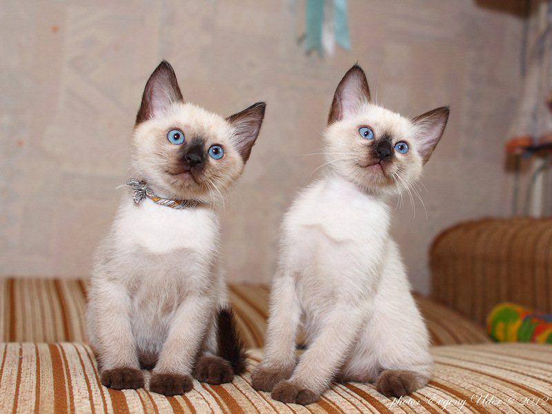 Тайские кошки очень активны и любят баловаться
