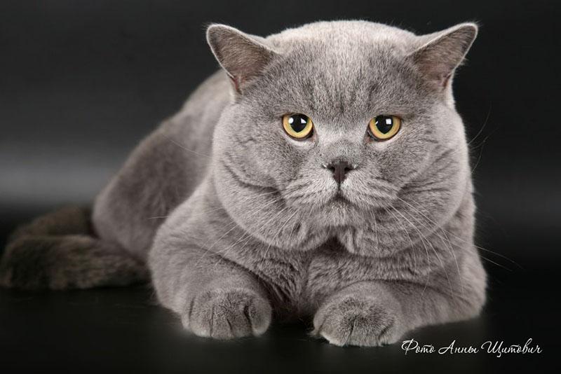 У британской кошки ярко выражены уши