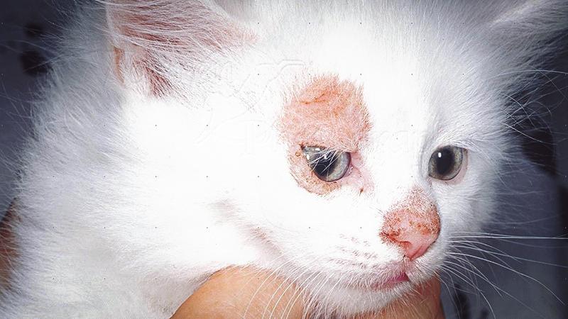 Лишай нужно вовремя лечить у кошек