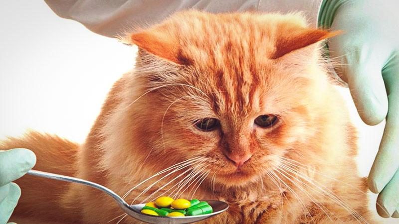 Нормализация пищеварения кошки