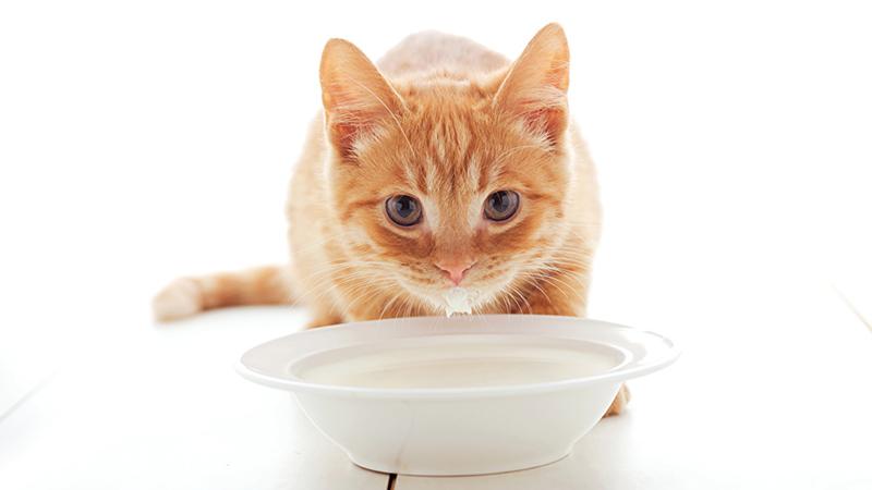 Кормим кота рекомендованными кормами