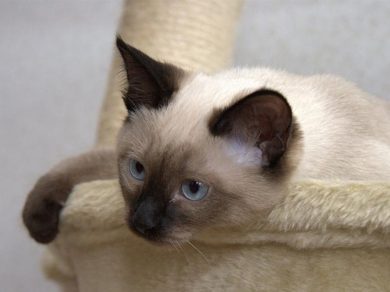Тайская кошка похожа на сиамскую