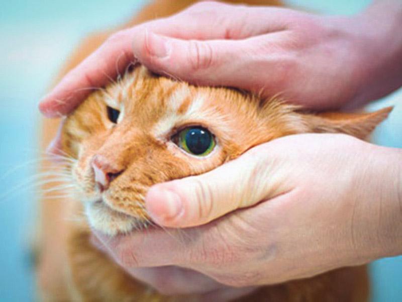 Если у кота слезятся глаза их нужно промыть чаем