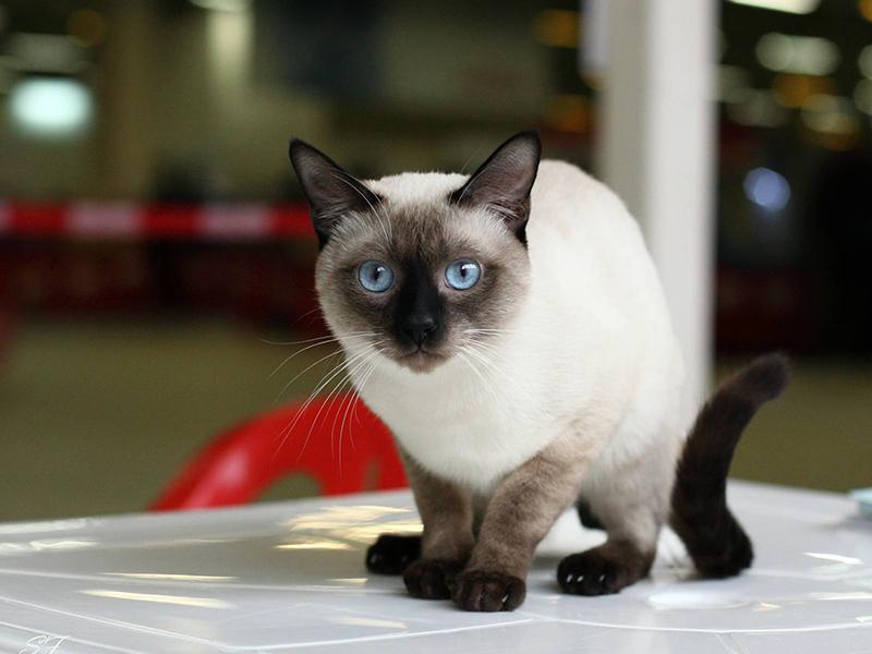 Правильный уход за тайской кошкой залог её здоровья