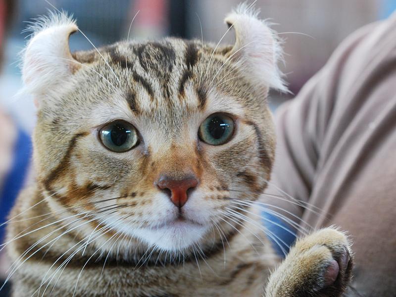 У этой кошки очень красивые ушки