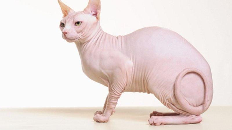 Сфинкс - гипоаллергенная порода кошек