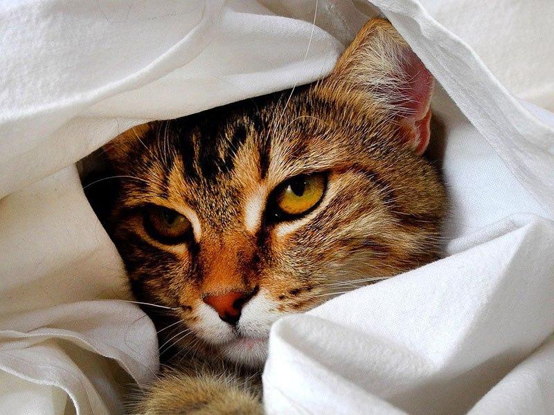 Глистная инвазия у домашних котов