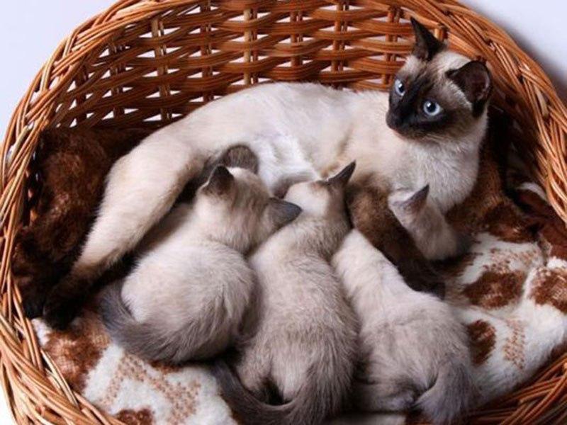 Сколько длится у кошек беременность