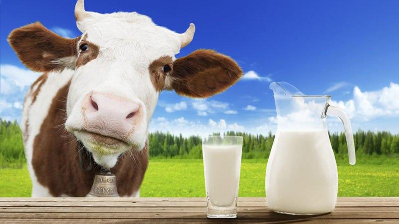 Коровье молоко - польза или вред?