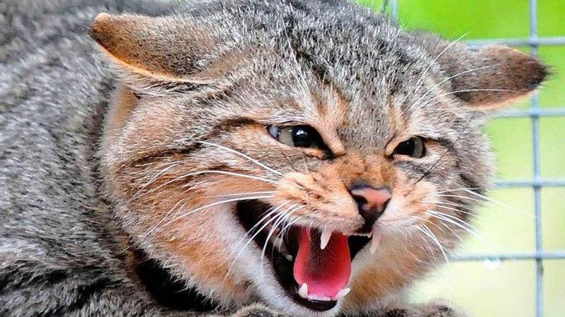 Заражение чумкой от уличных животных