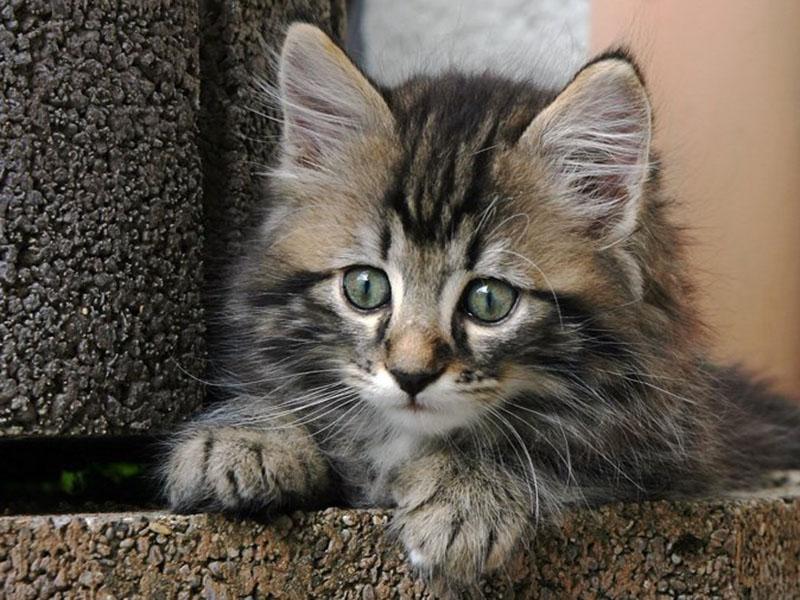 Необычная лесная кошка