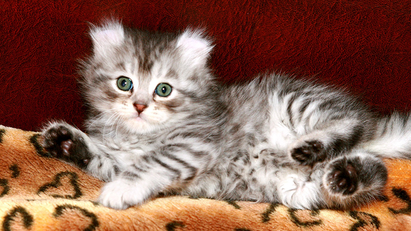 Маленькие котятки породы керл