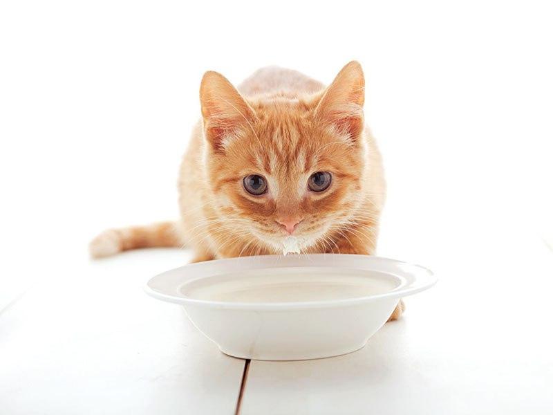 почему кошкам нельзя пить молоко