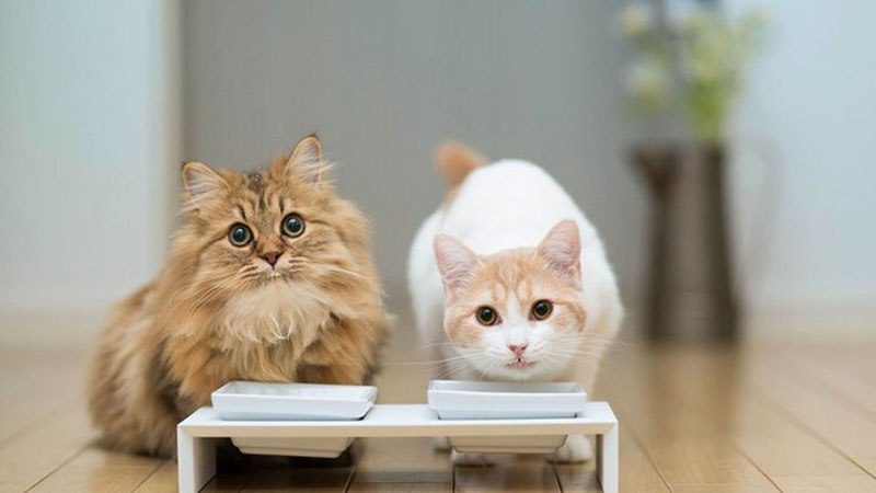 Полезный рацион для кошек или чем заменить молоко
