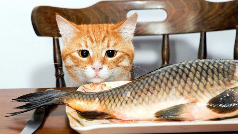 Как кормить кошку сырой рыбой