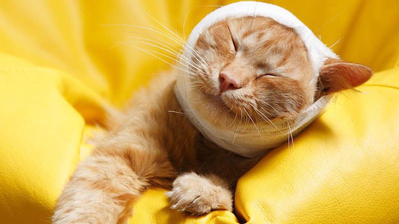 Как помочь коту при отите