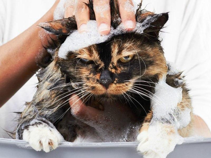 Правильное купание домашних кошек