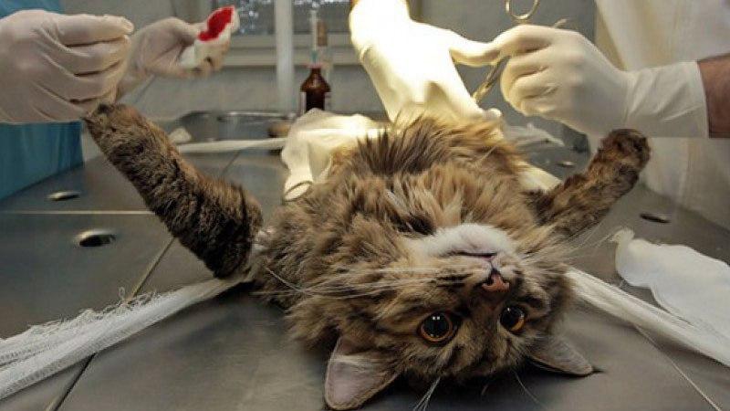 Кошка во время операции находится под наркозом