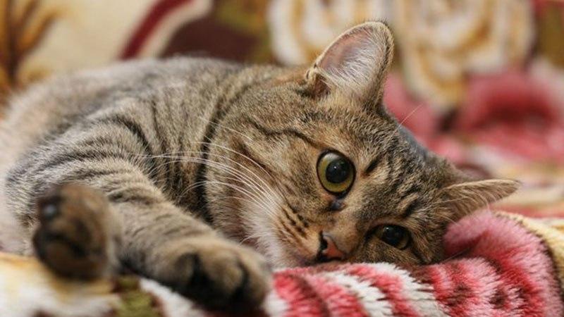 Поведение кошки в период течки
