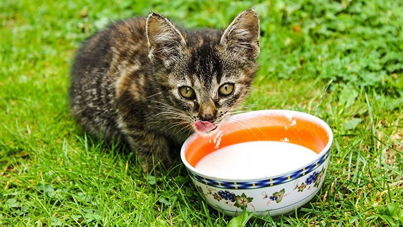 Молоко в рационе кошек - польза или вред?