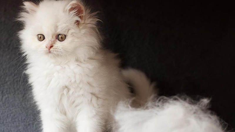 Выпадение шерсти у маленьких котят