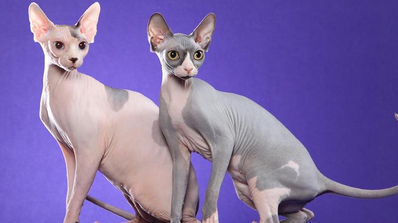 Гиппоаллергенная порода кошек