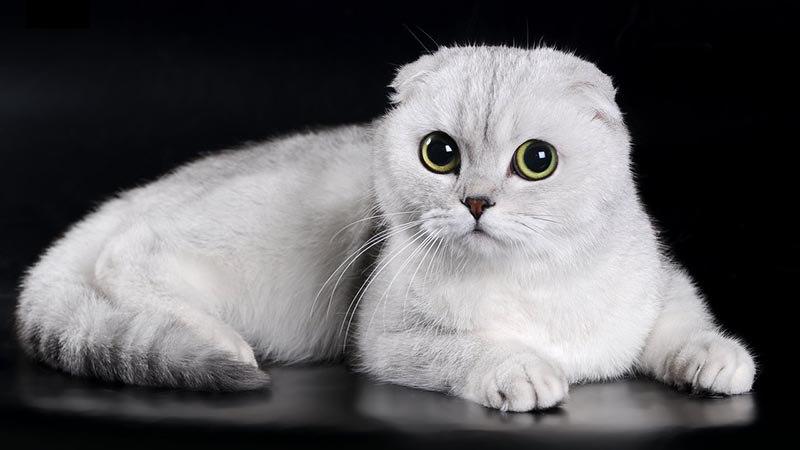 Клички для вислоухих кошек