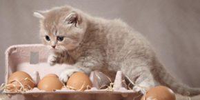 Можно ли давать котенку вареное яйцо: плюсы и минусы этого продукта