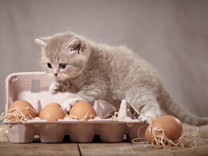 Яйца в рационе домашних кошек