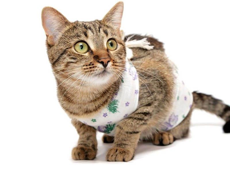 Стерилизация кошки во время течки: за и против