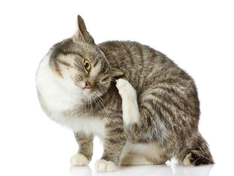 Перхоть у кошки на спине и у ухоста: причины, что делать и как лечить