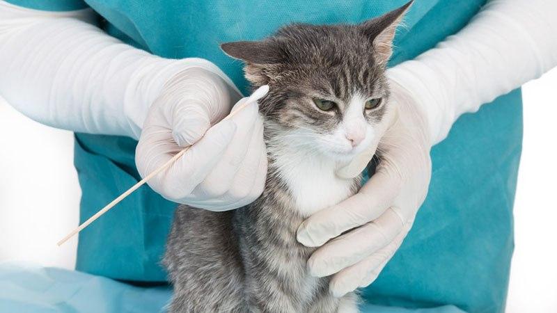 Правила ухода за ушками котенка