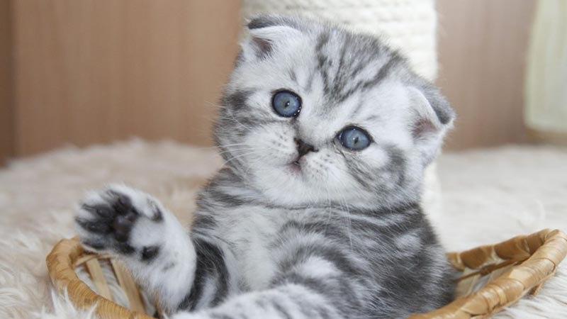 Красивые имена для шотландских кошек