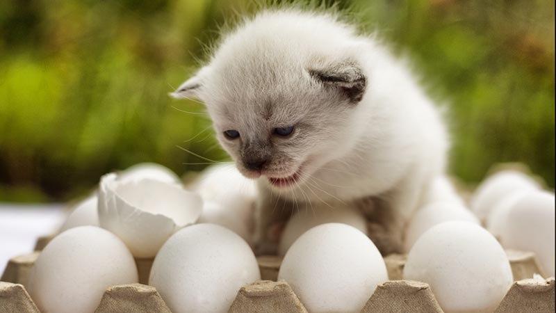 Куриные или перепелиные яйца давать коту?