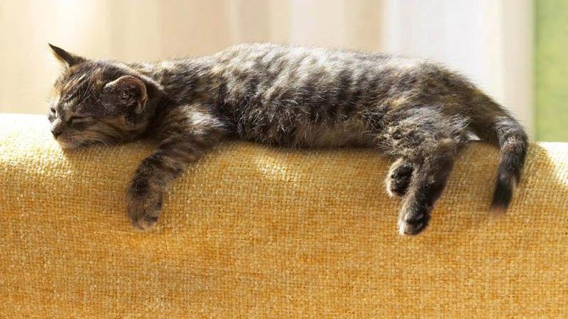 Кошка любит спать на мягкой мебели и высоте
