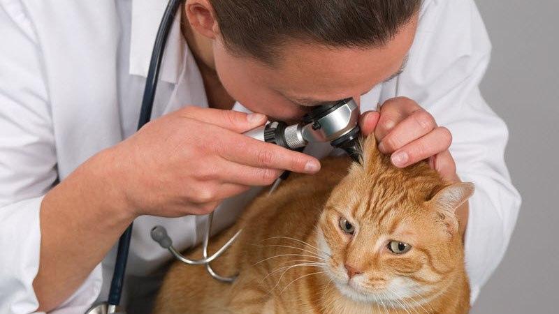 Когда нужно чистить уши кошкам