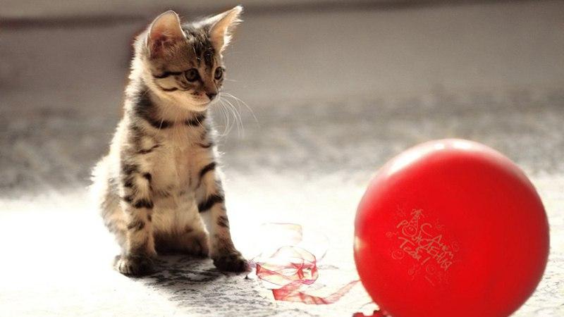 Звук лопающегося шарика быстро отпугнет кота от проводов