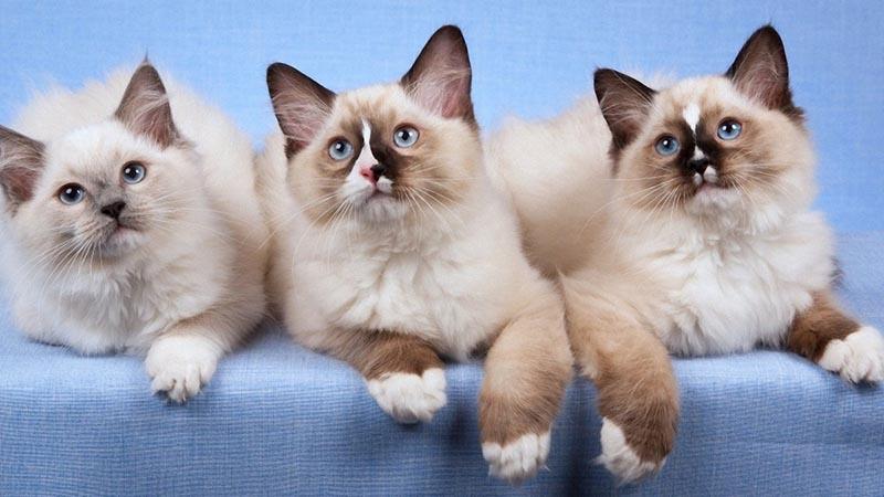 Кошки с игривым и добродушным характером - регдолл