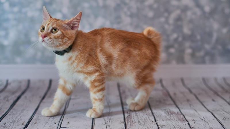 Котенок породы американский бобтейл