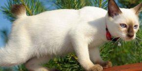 Бесхвостые кошки: история породы и названия видов
