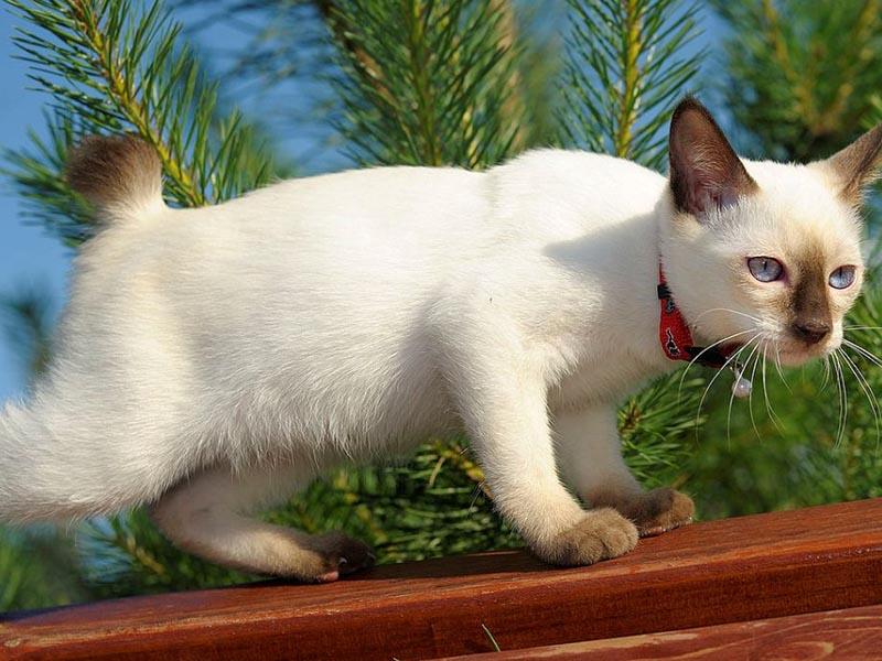 Уникальные породы бесхвостых кошек