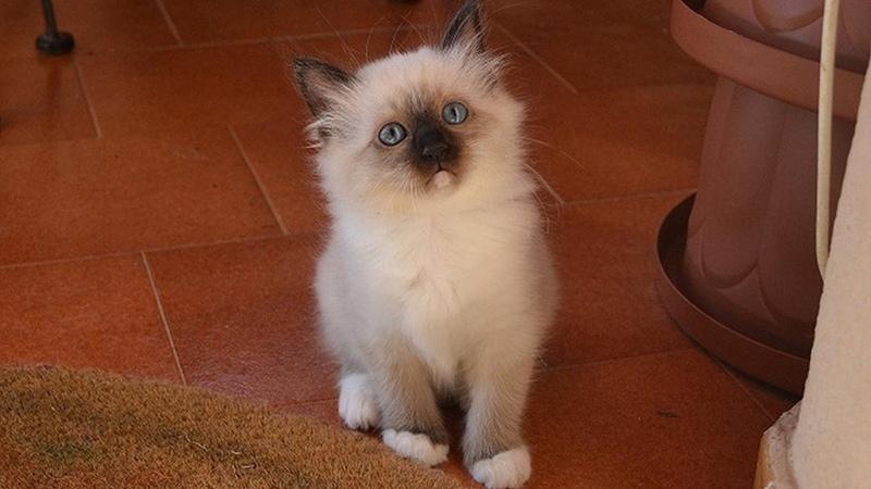 Сколько стоит бирманская кошка