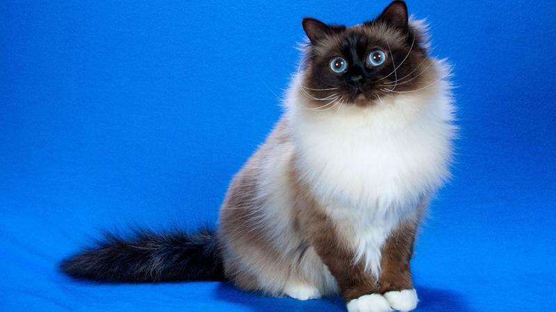Отзывы владельцев кошек бирма - только положительные!
